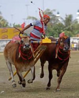 Kerapan sapi, salah satu budaya yang akan dipelajari 12 mahasiswa asing. (istimewa)