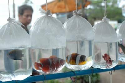 RI berpeluang rebut pasar ikan hias dunia   Agribisnis